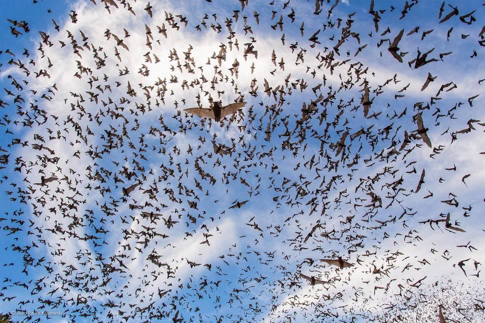 Bat Festival by João Paulo Krajewski