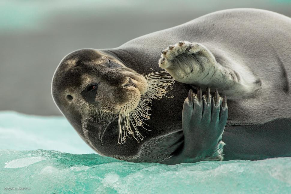 Flirting Bearded Seal by Audun Rikardsen