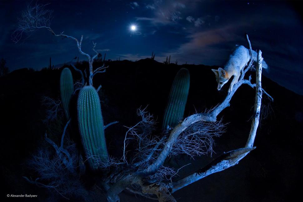 Moonlight Climber by Alexander Badyaev