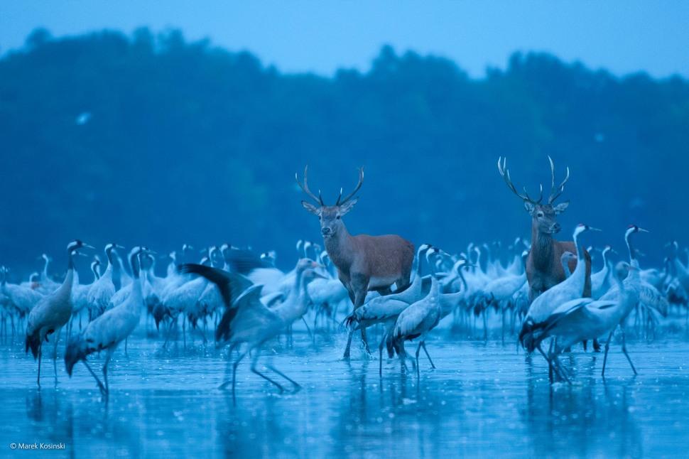 Red Deer and Cranes by Marek Kosinski