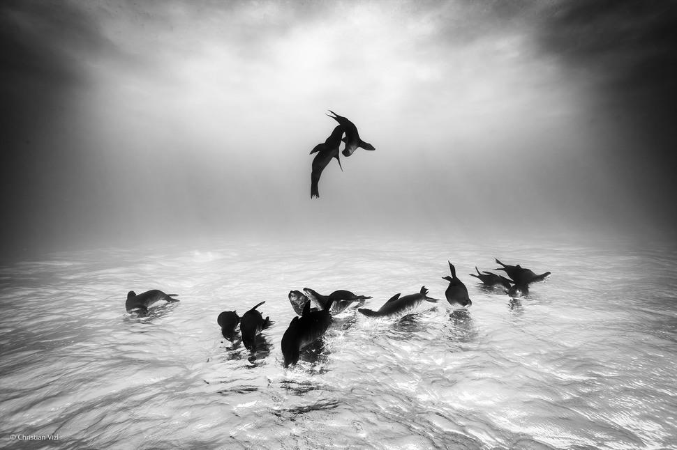 Sea Lions Dreams by Christian Vizl