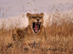 lioness-mother-maasai-mara